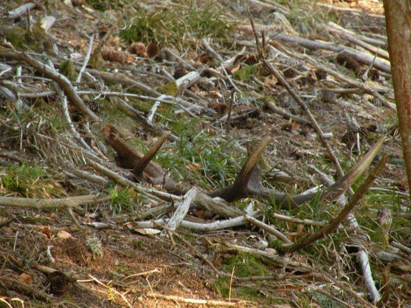 Image Bois De Cerf : Comment trouver bois de cerf ?