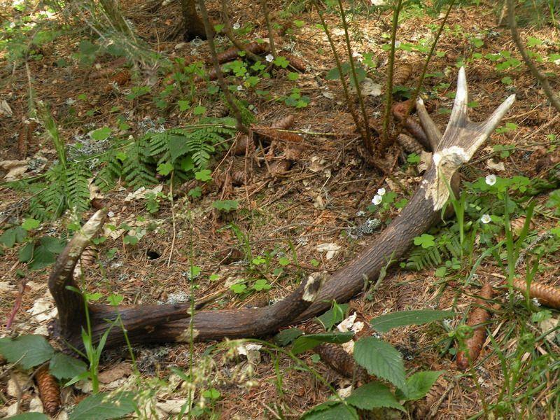 Image Bois De Cerf : comment trouver des bois de cerf